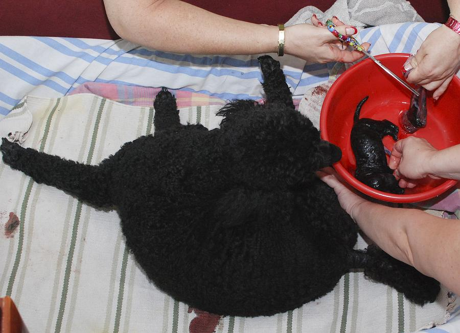 Female Poodle Gives Birth Photograph