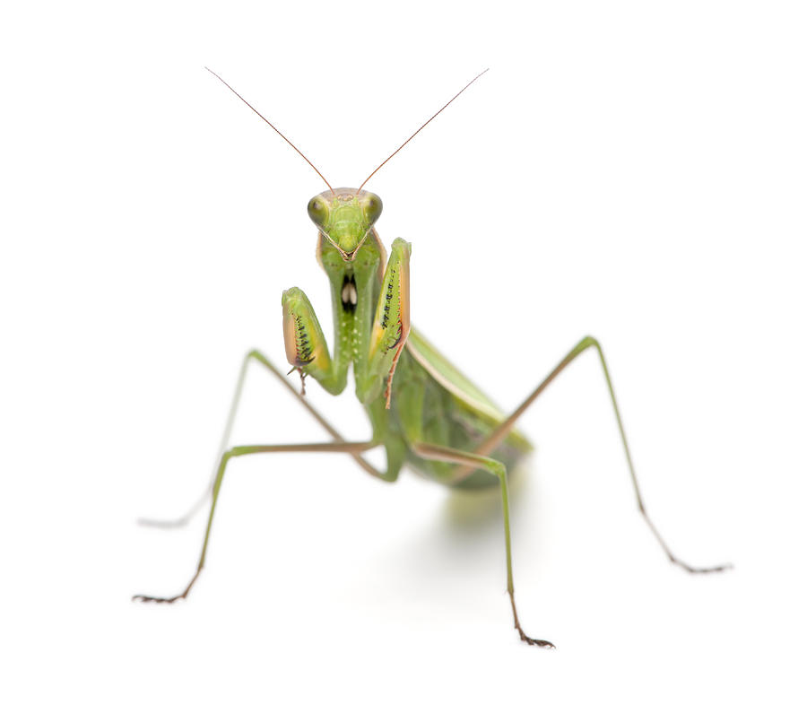Female Praying Mantis (mantis Religiosa) by Life On White