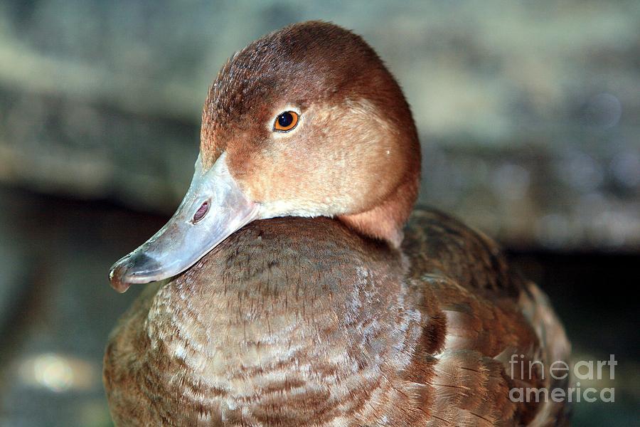 Female redhead duck