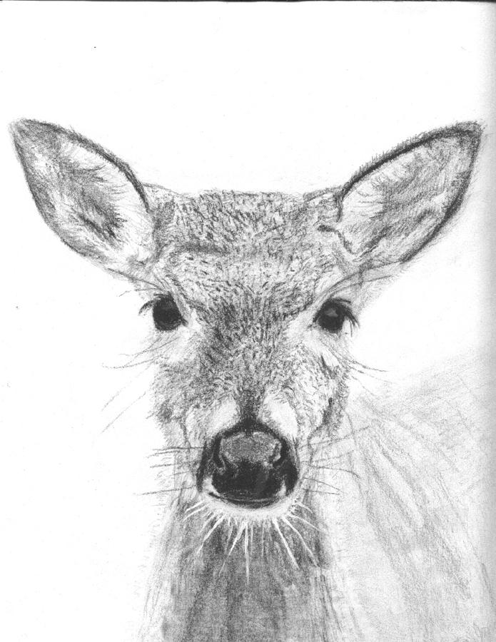 Female White-tailed Deer Drawing