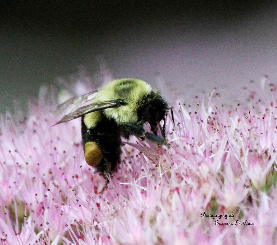 Female Worker Bumble Bee With Pollen Sack On Hen And Chick Plant Photograph