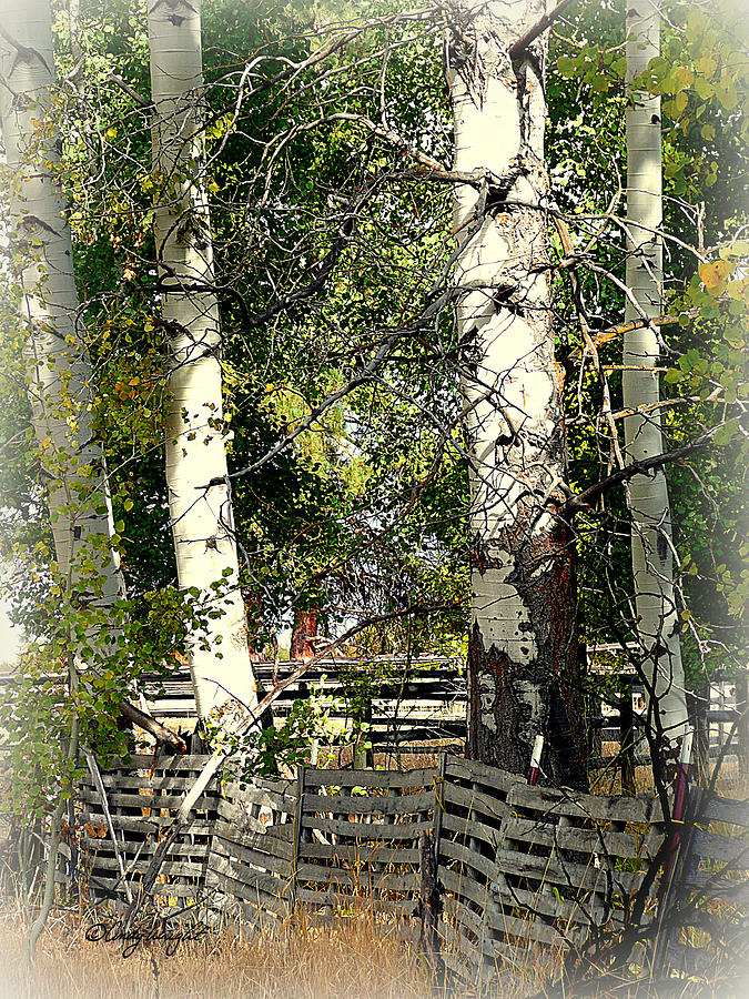 Fenced Aspen Photograph  - Fenced Aspen Fine Art Print