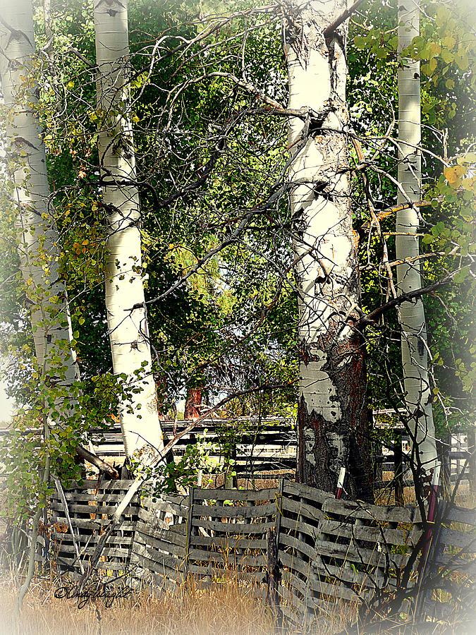 Fenced Aspen Photograph