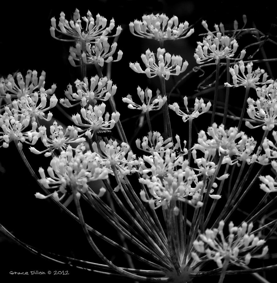 Fennel Flowers Photograph  - Fennel Flowers Fine Art Print