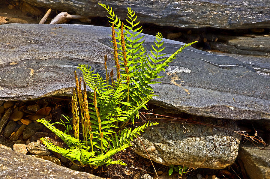 Plants Growing Out From Around Large Rocks At A River. Photograph - Fern And Rocks by Susan Leggett