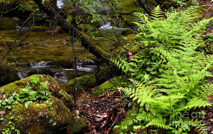 Fern Fallen Log And Stream Photograph