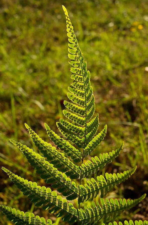 Fern Frond And Sporangia 1 Photograph by Douglas Barnett Fern Sporangia
