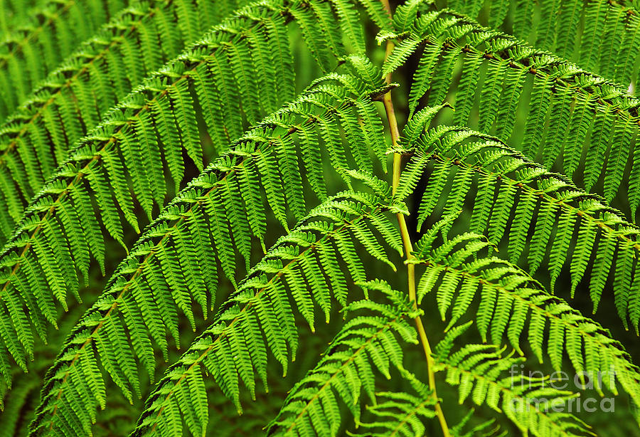 Fern Fronds Photograph  - Fern Fronds Fine Art Print