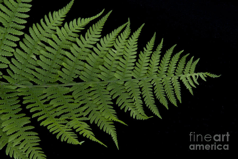 Fern II Photograph  - Fern II Fine Art Print