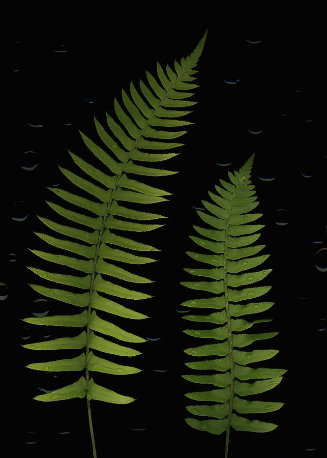 Fern Leaves With Water Droplets Photograph