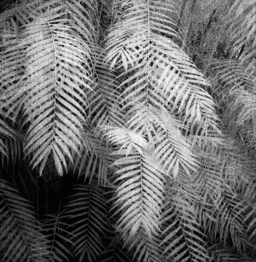 Fern Variations In Infrared Photograph  - Fern Variations In Infrared Fine Art Print