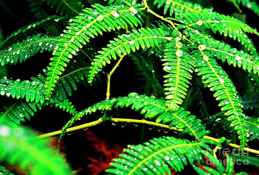 Ferns And Raindrops Photograph  - Ferns And Raindrops Fine Art Print