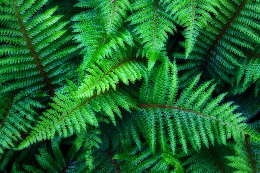 Ferns Photograph