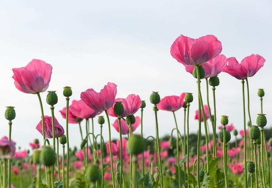Field Full Of Pink Poppies by Ruud Morijn