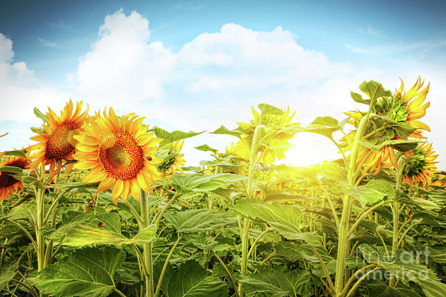 Field Of Colorful Sunflowers And Blue Sky Photograph