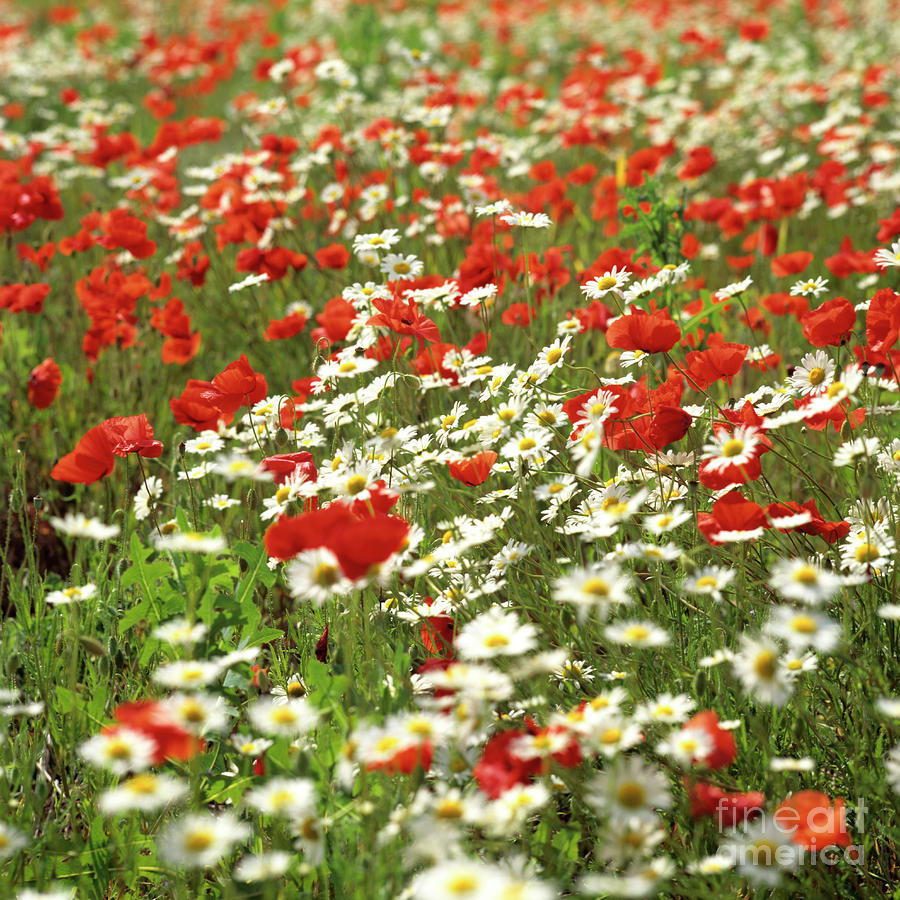 Field Of Daisies And Poppies. Photograph
