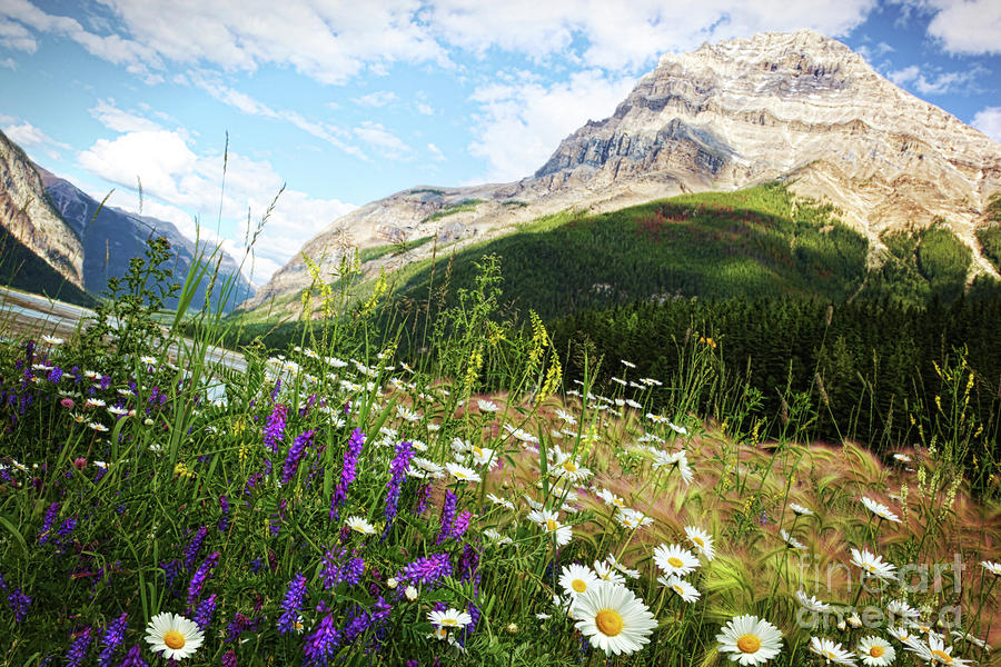 Field Of Daisies And Wild Flowers Photograph