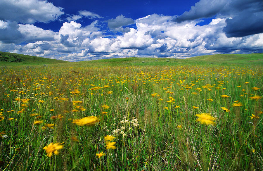 Field Of Flowers, Grasslands National Photograph  - Field Of Flowers, Grasslands National Fine Art Print