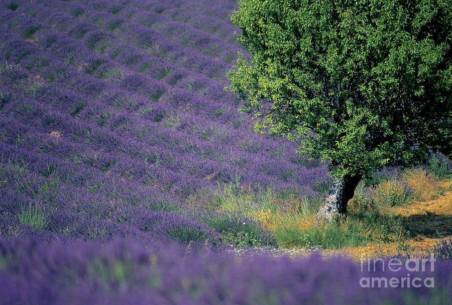 The Tourist Trade Photograph - Field Of Lavender by Bernard Jaubert