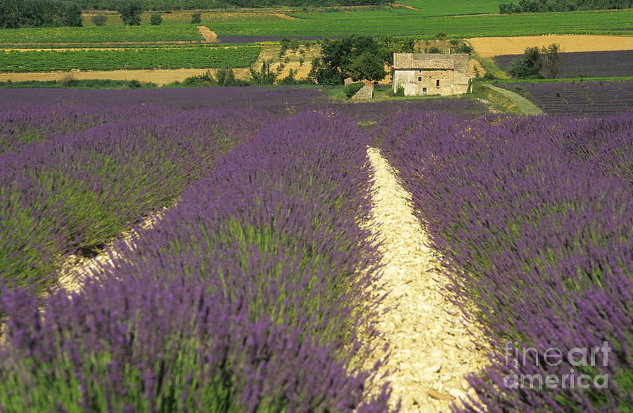 Field Of Lavender. Drome Photograph