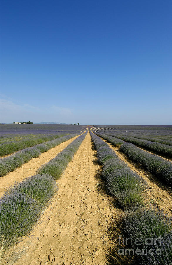 Lavender Photograph - Field Of Lavender. Valensole by Bernard Jaubert