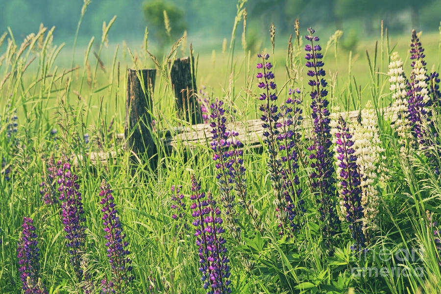 Field Of Lupin Flowers  Photograph