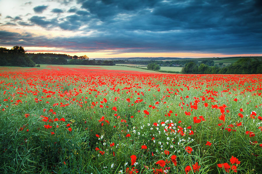 Field Of Poppies And Daisies At Sunset Photograph