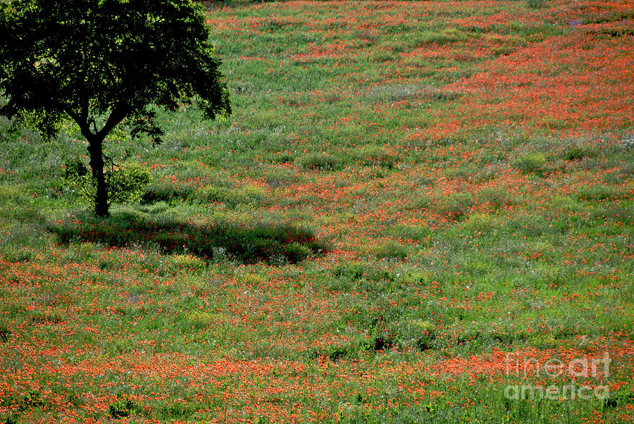 Field Of Poppies. Photograph