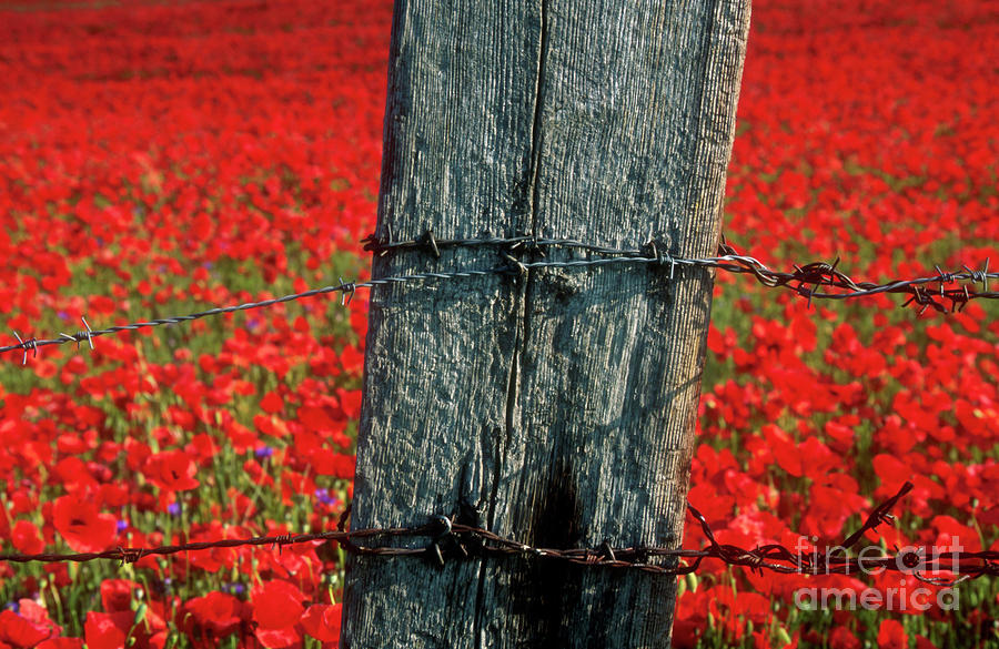 Field Of Poppies With A Wooden Post. Photograph  - Field Of Poppies With A Wooden Post. Fine Art Print