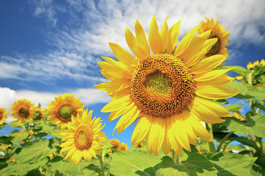 Field Of Sunflowers Against Blue Sky Photograph
