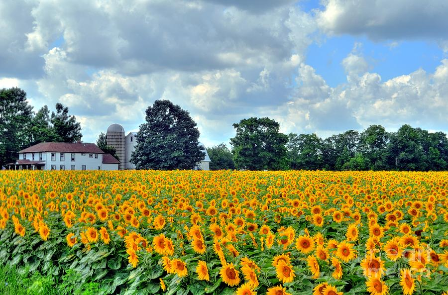 Field Of Sunflowers Photograph  - Field Of Sunflowers Fine Art Print