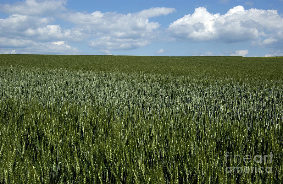 Field Of Wheat Photograph