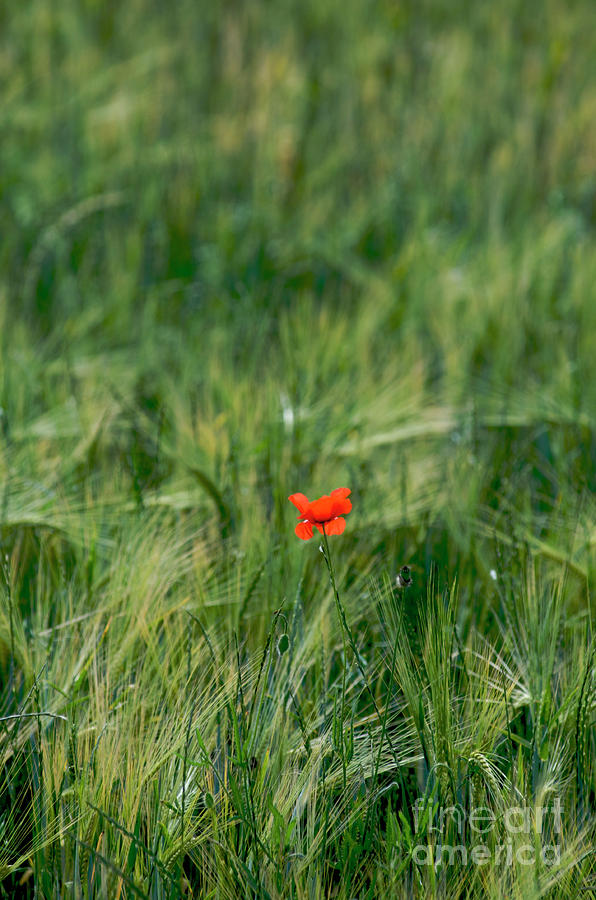 Field Of Wheat With A Solitary Poppy. Photograph  - Field Of Wheat With A Solitary Poppy. Fine Art Print