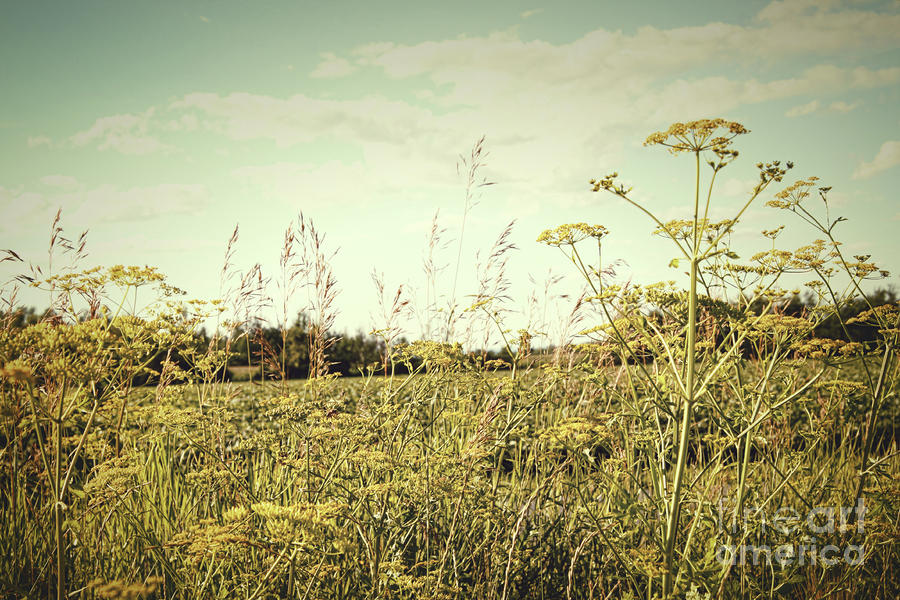 Field Of Wild Dill In The Afternoon Sun  Photograph