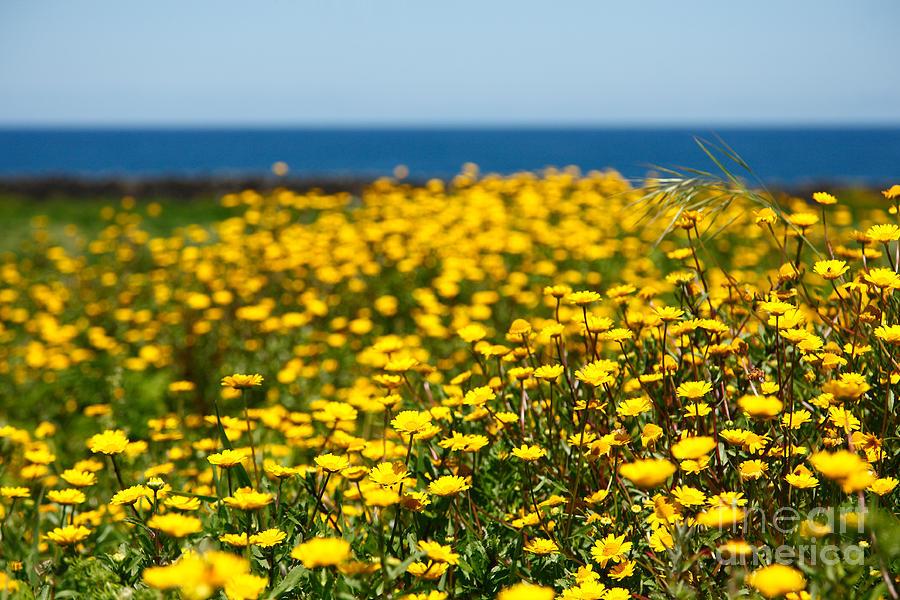 yellow daisy field on quotesfab, Beautiful flower