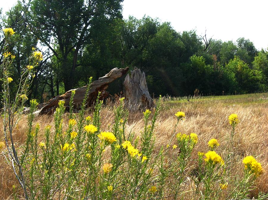 Sage Photograph - Field Of Yellow Sage In Lakewood Colorado by Gretchen Wrede