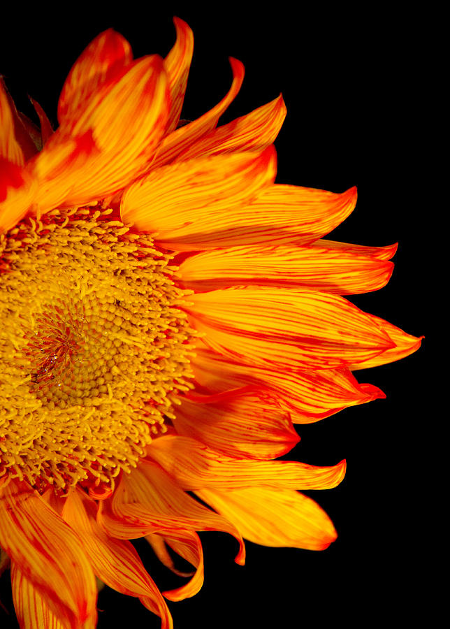 Fiery Sunflower Photograph  - Fiery Sunflower Fine Art Print