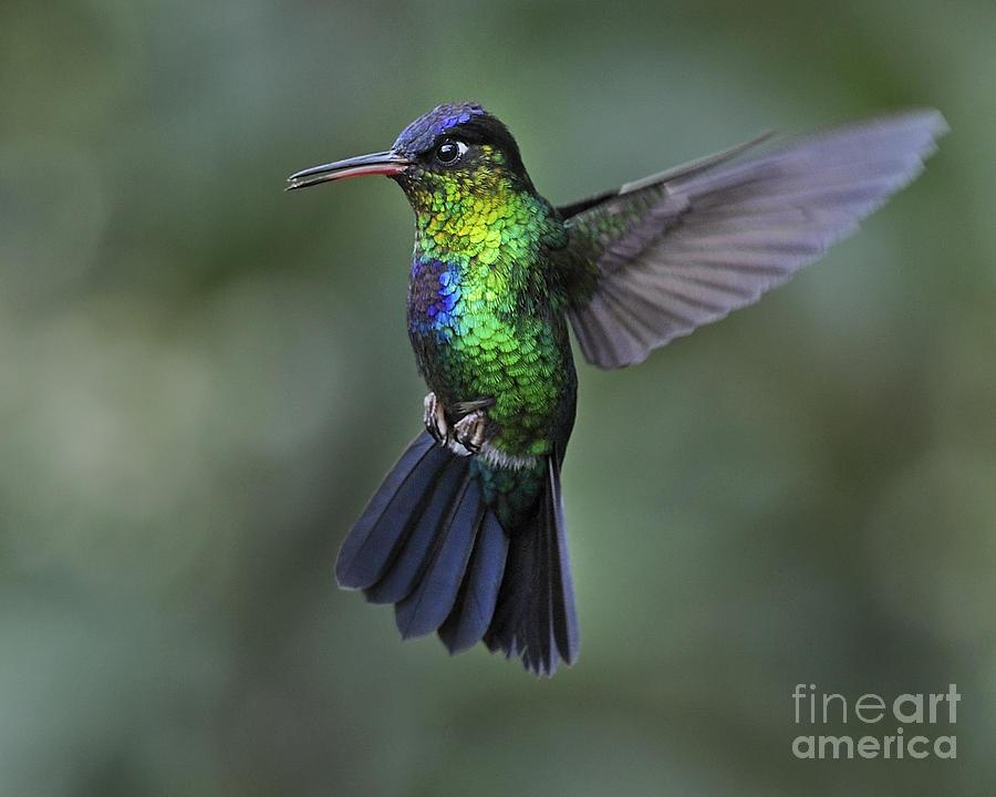 Fiery Throated Hummingbird By Nina Stavlund