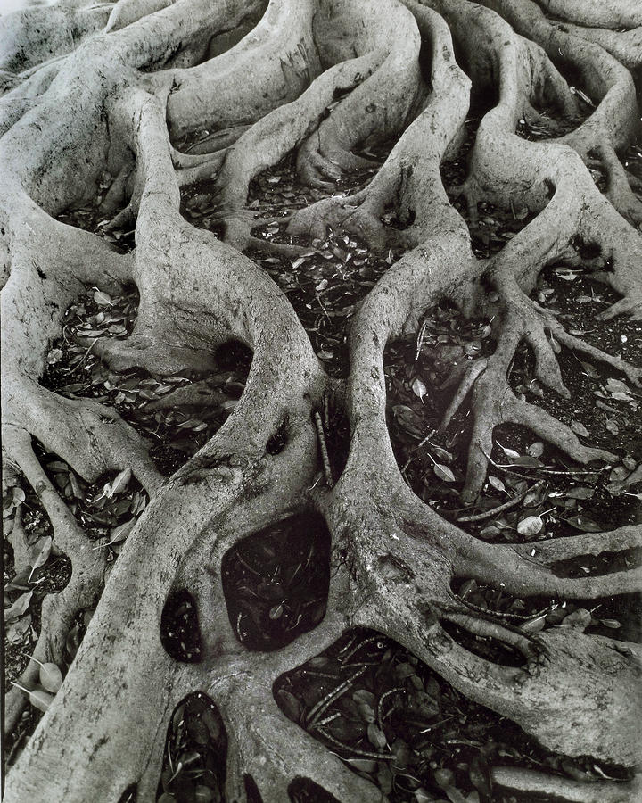 Fig Tree Roots Photograph  - Fig Tree Roots Fine Art Print