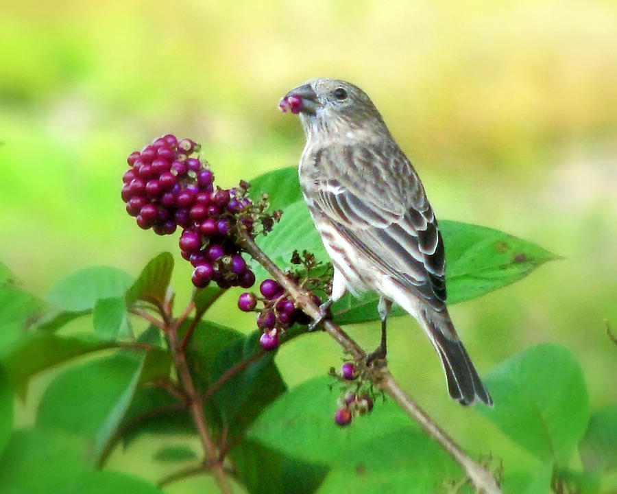 Nature Photograph - Finch Eating Beautyberry by Peg Urban