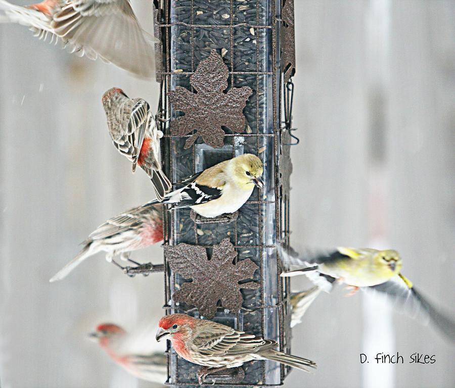 Finches Photograph - Finches by Debbie Sikes