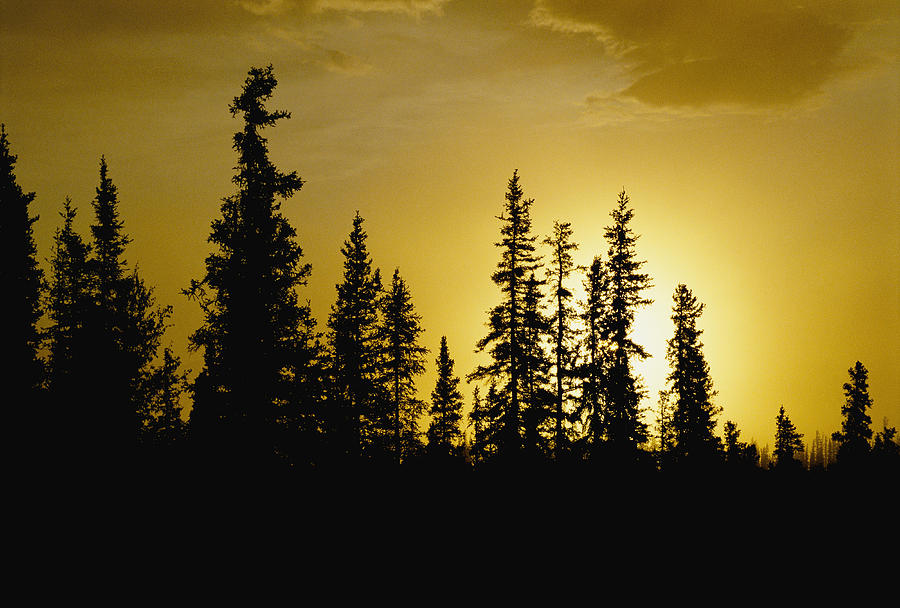Fir Trees Silhouetted In Early Morning Photograph