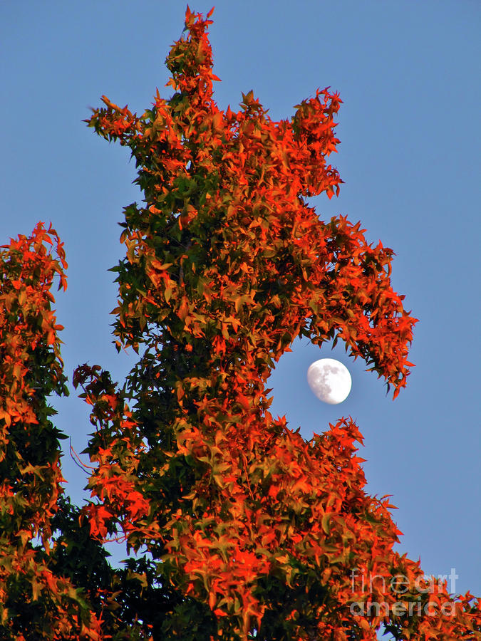 Fire Dragon Tree Eats Moon Photograph  - Fire Dragon Tree Eats Moon Fine Art Print