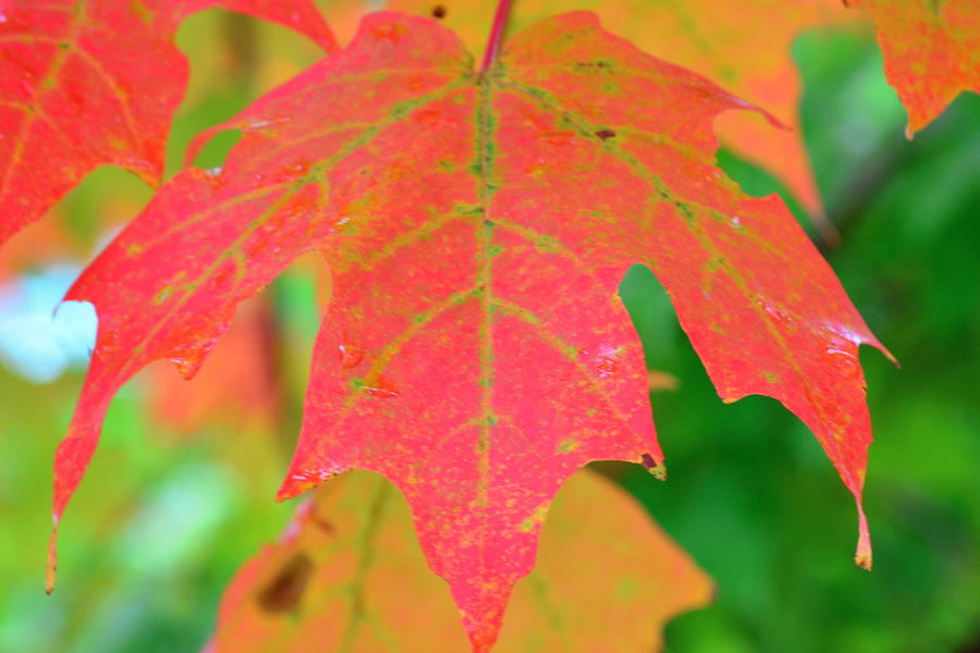 Fire Leaf Photograph  - Fire Leaf Fine Art Print