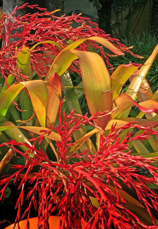 Firecracker Bromeliad Photograph