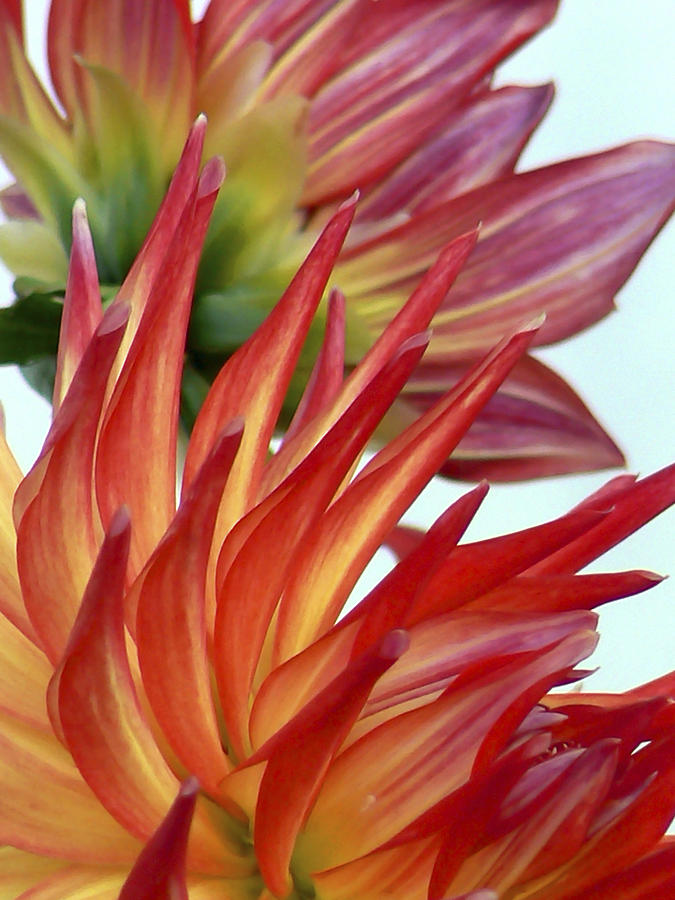 Firecracker Dahlia Photograph  - Firecracker Dahlia Fine Art Print