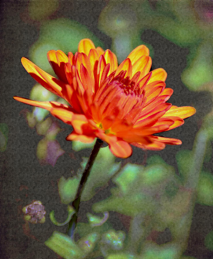 First Mum For Fall Photograph  - First Mum For Fall Fine Art Print