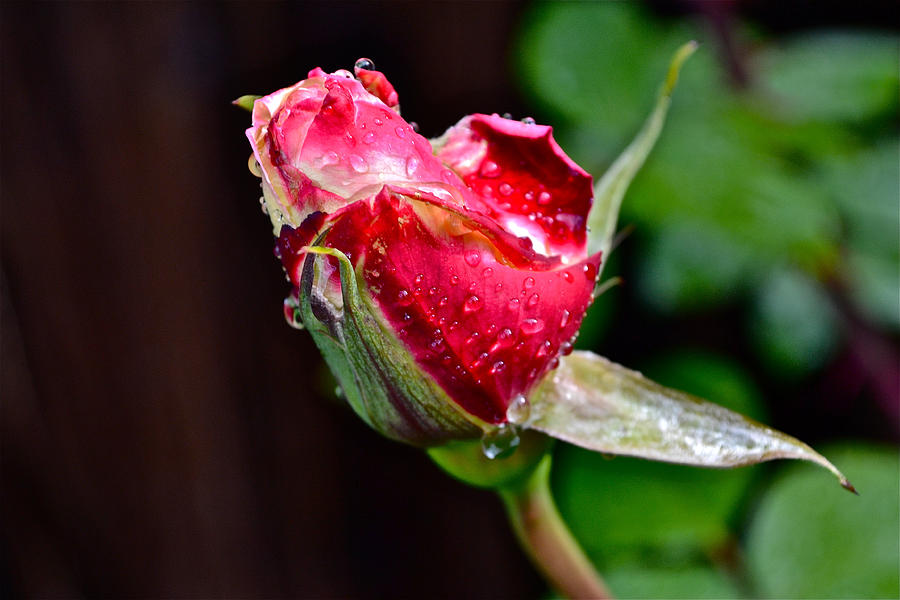 First Rose Photograph  - First Rose Fine Art Print