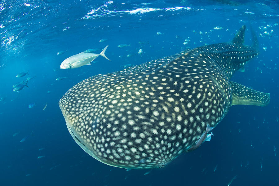 Fish Following A Whale Shark Photograph