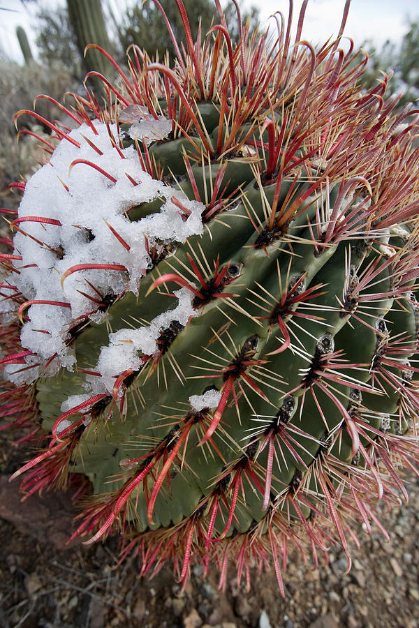 Fish Hook Barrel Cactus With Snow Photograph  - Fish Hook Barrel Cactus With Snow Fine Art Print